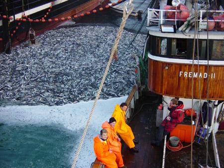 Fishing herring in Vestfjorden in 2003. Photo: R. Gjerde