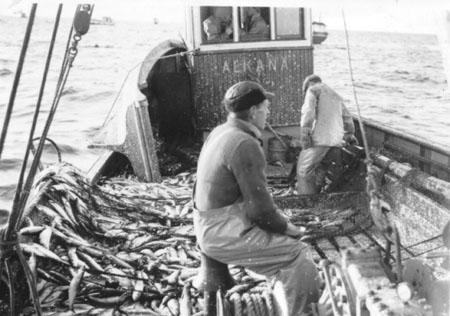 Fishing herring using nets. Photo: Harald Hausken