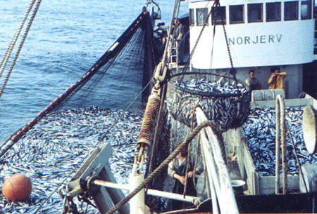 Seiner with a catch of herring in the late 1960's. Photo: Odd Haugetun