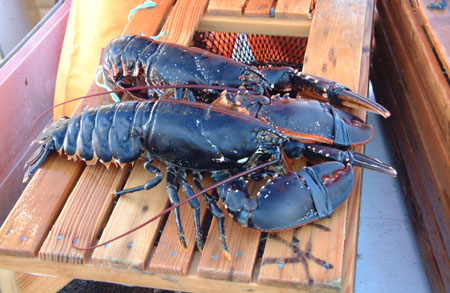 Lobsters on the top of a lobster pot. Photo: scanfishphoto.com