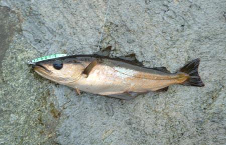 saltvann fisk lyr