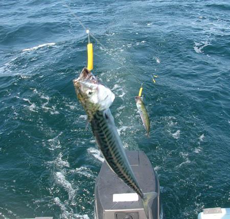 Dorging etter makrell. Foto: Kystbloggen