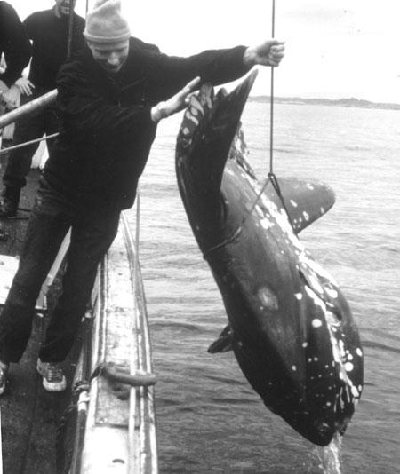 Månefisk (Mola mola) utenfor Vestlandet.
