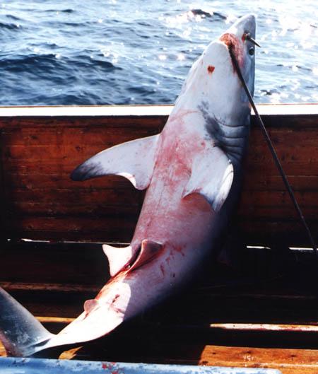 A porbeagle shark caught on the line.