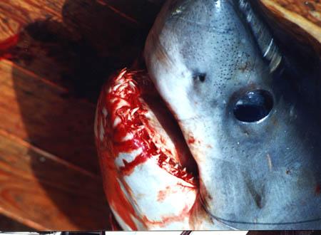 Porbeagle shark. Not yet unhooked