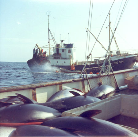 Tuna seiner with catch. Photo: fiskeri.no