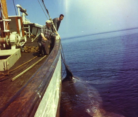 A dead basking shark. Photo: Ø. Tangen