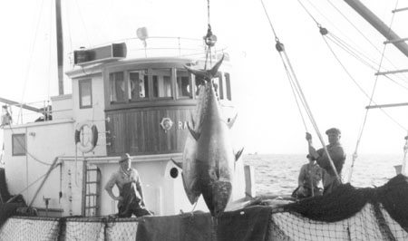 Nowegian seiner fishing bluefin tuna in 1959