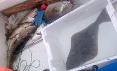 Fiskefangst. Torsk og kveite.