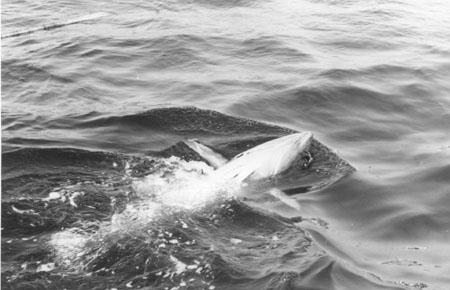 Størje med fiskemerke