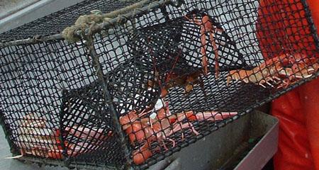 Sjøkreps og trollhummer i krepseteine. Foto: Kystbloggen
