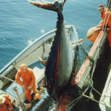 Stor tunfisk.