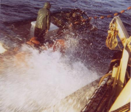 Tunfisk kjemper i nota. Foto: Edvin Bakkevik