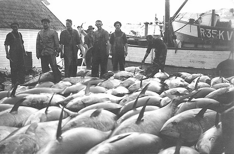 Makrellstørje på kai