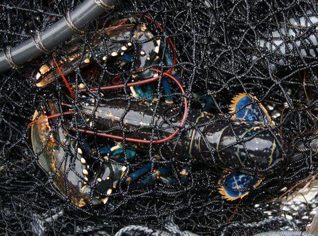 Rusefisket hummer
