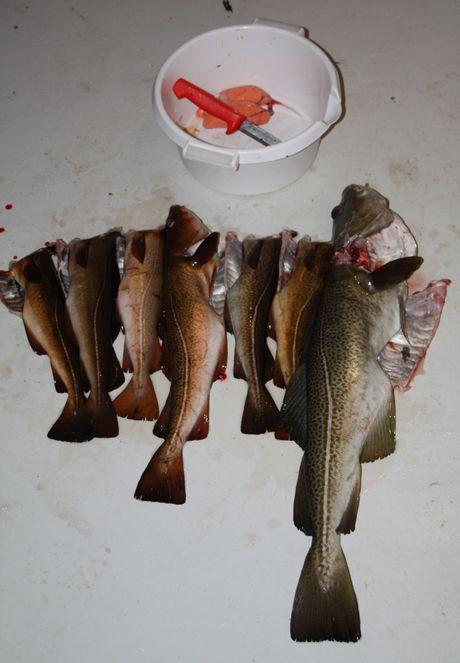 Fangst av torsk